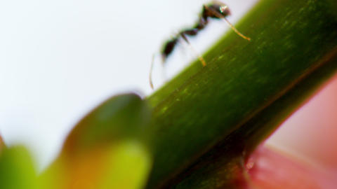 Close up of ants moving on a plant stalk Footage