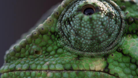 Extreme close up of chameleon profile Footage