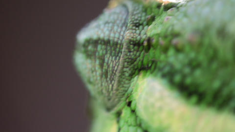 Extreme close up of chameleon's roving eye Footage