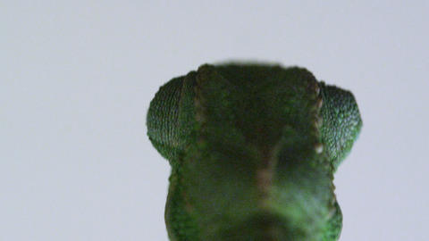Close up of chameleon eye movement from behind Footage