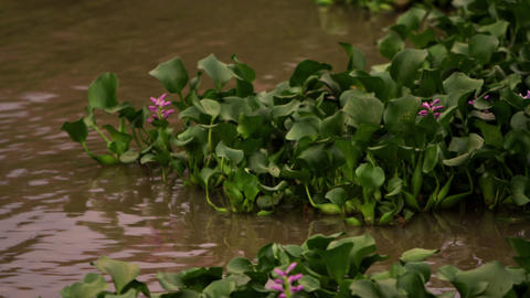 Aquatic plants move in the current Footage
