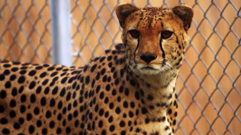 Cheetah sits next to chain-link fence Footage