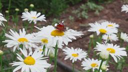 Butterfly on daisy flower Footage