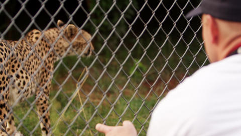 Man observes pacing cheetah from opposite side of fence Footage