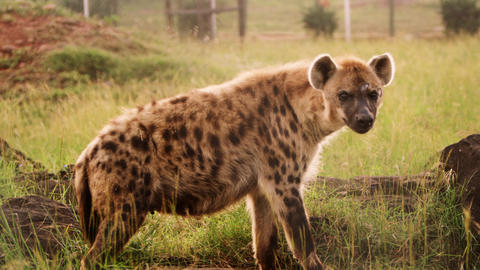 Medium shot of hyena in enclosure Footage