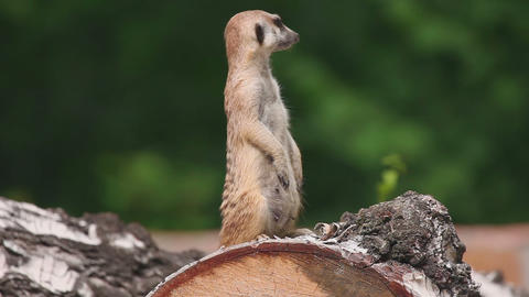 Meerkat looking out for danger Footage
