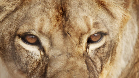Extreme close up of female lion head and eyes Footage