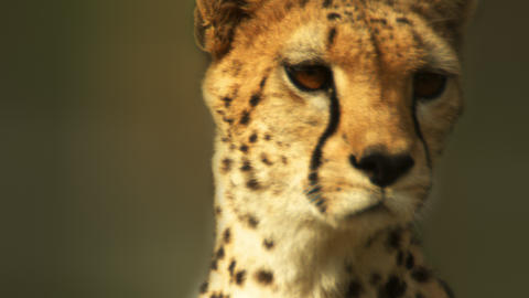 Close up on alert cheetah Footage