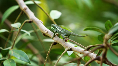 Chameleon hanging onto branch which sways in the wind Footage