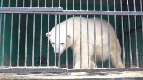 polar bear in a small cage Live Action