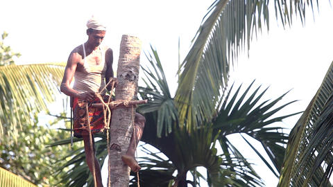 local man clasps tree trunk and ties palm tree top with rope Live Action