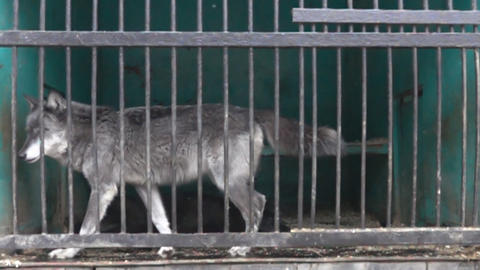 Wolf in a cage in a state of prostration Live Action
