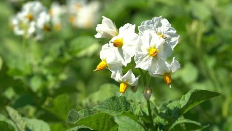 Potato, Solanum tuberosum Live Action