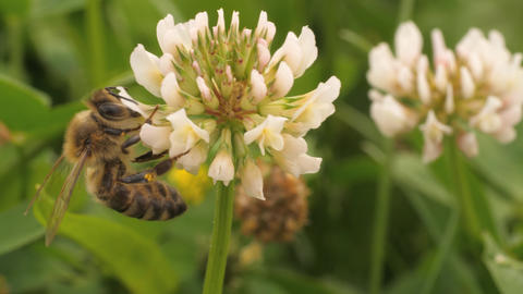 Macro shot- honey bee on clover flower Footage