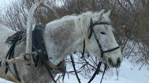 White horse and sleigh in winter near forest Live Action