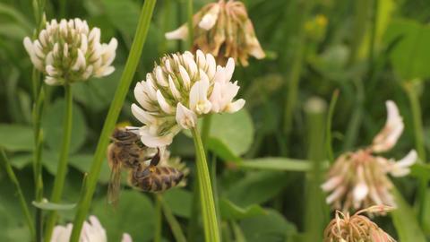 Macro of honey bee walking on clover flower Archivo