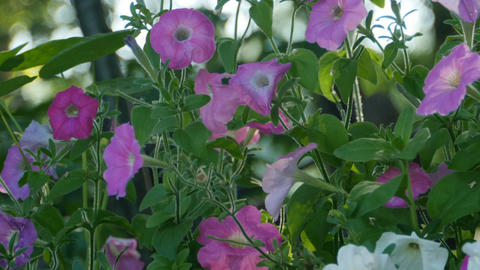 petunia flowers on the garden bed close-up Footage