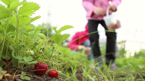 A girl picks strawberries Footage