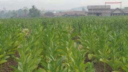 Tobacco Plantation And Village,Borobodur,Indonesia stock footage
