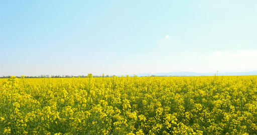 Yellow Rapeseed Flowers Field With Blue Sky Footage