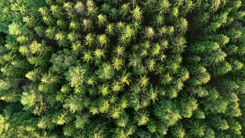 Rotation drone shot over pine trees forest green needle trees cinematic Footage