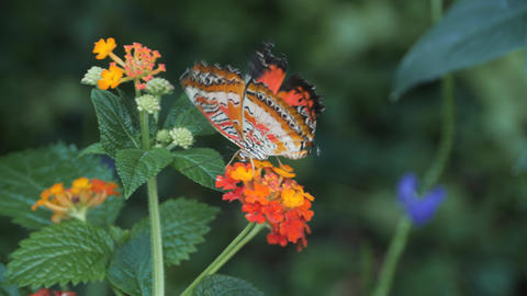 Red lacewing butterfly flies from flower to flower Live Action