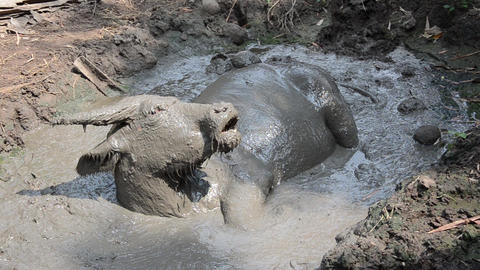 Animal agriculture, Thai dirty buffalo relaxes in mud at amphawa, thailand FHD footage video Footage