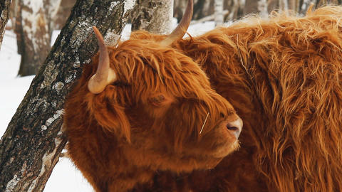 Highland cattle brown cow lick her fur Footage