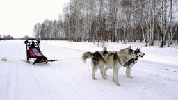 A pair of harnessed sled dogs Footage