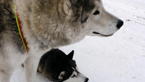 Pair of siberian husky dogs Live Action