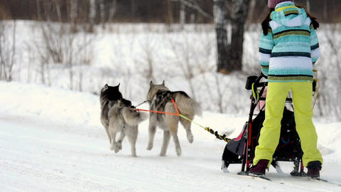 Team of sled dogs with mushers Live Action