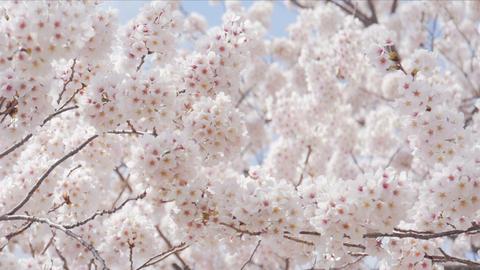 Sakura cherry blsoom are full bloom Footage