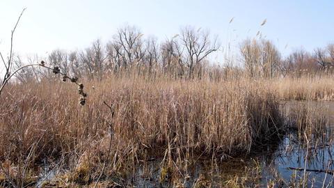 dry reeds in the Ukrainian swamps Archivo
