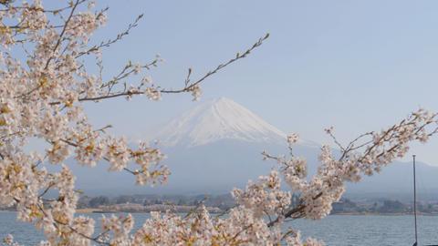 Sakura with Mt. Fuji at Kawaguchiko lake Footage