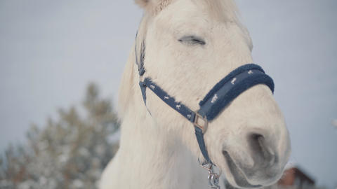 Muzzle of beautiful horse close-up. Horses walk outdoors in the winter Live Action
