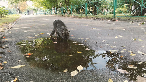 Grey cat drinks from the puddle on the street - 4k shot Footage