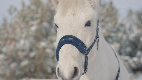 Close up adorable muzzle of a white horse standing on a country ranch. Horses Live Action