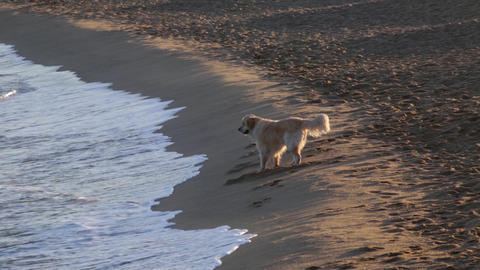 Happy dog playing on the seashore Footage