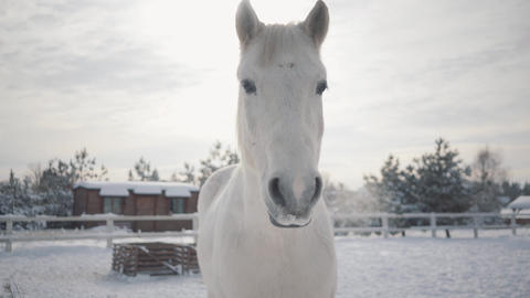 Beautiful muzzle of a white horse standing on the barred area of a country ranch Live Action