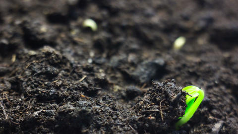 Growing small plant growing in the ground. Time lapse. Beautiful nature Live Action