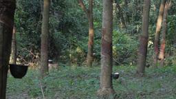 Natural rubber tree plantation,Ubon Ratchathani,Thailand Footage