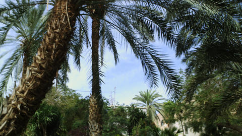 Royalty Free Stock Video Footage of palm trees at Ein Gedi shot in Israel at 4k  Footage