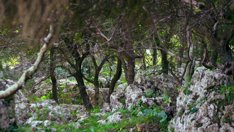 Royalty Free Stock Video Footage of rocky Carmel forest floor shot in Israel at  Footage