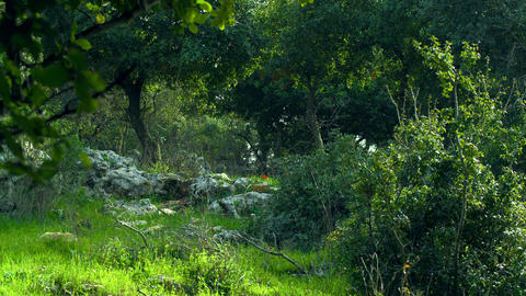 Royalty Free Stock Video Footage of windy Carmel mountain forest shot in Israel  Footage