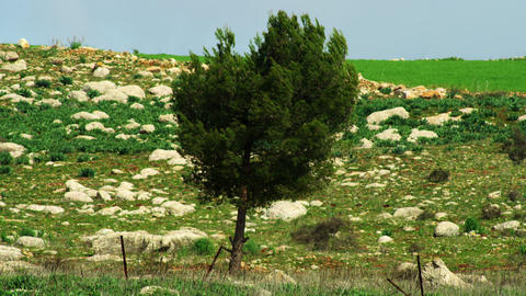 Royalty Free Stock Video Footage of a lone tree in a rocky meadow shot in Israel Footage