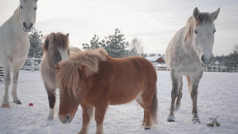Two horses and two ponies walking on suburban ranch in winter weather outdoors Live Action