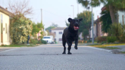 Black Labrador Running Footage