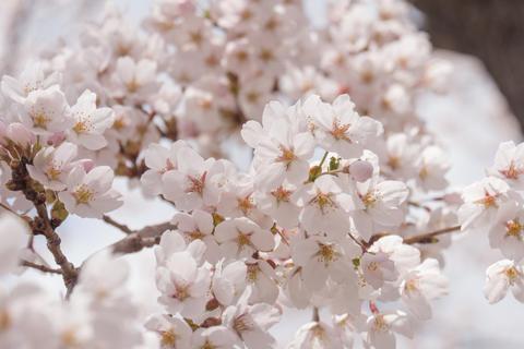Sakura cherry blossom Fotografía