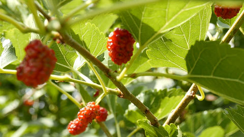 Unripe Rubus on an Early Summer Day 2 Stock Video Footage