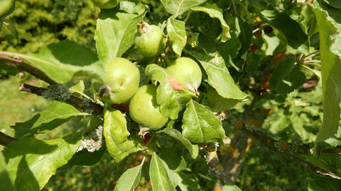 4K Unripe Green Apples on an Early Summer Day Live Action